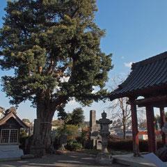 妙蓮寺のイヌマキ