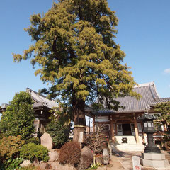 妙蓮寺のイトヒバ