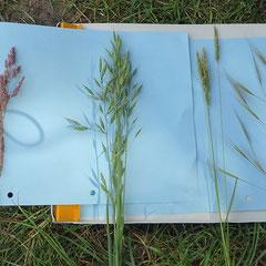 Beispiele der bestimmten Gräser, von links: Wolliges Honiggras, Glatthafer, Wiesen-Fuchsschwanzgras und Taube Trespe
