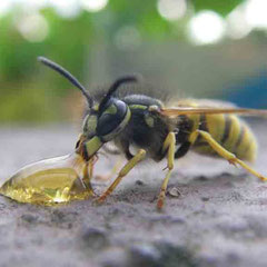 gewöhnliche Wespe (Foto: Dipl.-Biol. Florian Preusse)