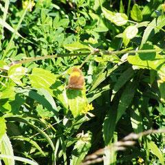 Nierenfleck-Zipfelfalter, weiblich