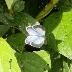 Faulbaum-Bläuling, Weibchen