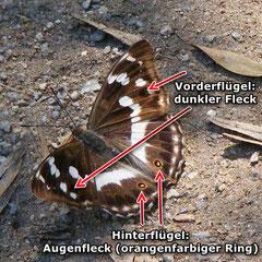 Großer Schillerfalter, Weibchen