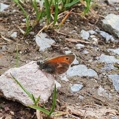 Kleines Wiesenvögelchen (Kleiner Heufalter)
