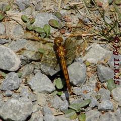 Kleiner Blaupfeil, Weibchen - Seen bei Breitenbuch (By)