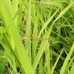 Kleine Pechlibelle, Weibchen frisch geschlüpft - Waldsee Mörlenbach