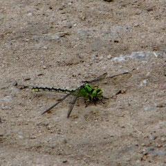 Grüne Flussjungfer, Weibchen - Graben, Südhessisches Ried