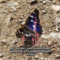 Kleiner Schillerfalter  (Blauschillerform)