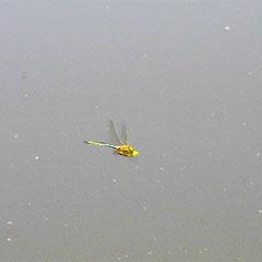 Glänzende Smaragdlibelle - Großer See