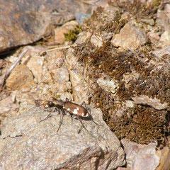 Berg-Sandlaufkäfer (Vorkommen nur in bergiger Lage: trockene Waldwege, in Sand- und Kiesgruben sowie in Steinbrüchen)