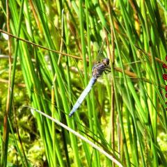Kleiner Blaupfeil, Männchen -Wiesenbach am Moorrand im Olfener Moor