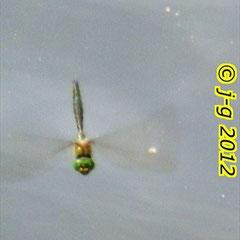 Glänzende Smaragdlibelle - Teich in Rohrbach