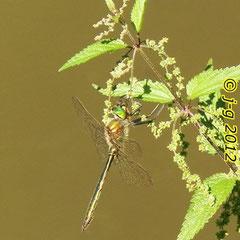 Glänzende Smaragdlibelle - Fischteich in Kreiswald bei Rimbach