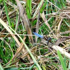 Kleiner Blaupfeil, Männchen - Marbach-Stausee