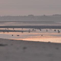 les canards tadornes au lever de soleil
