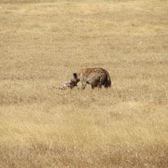 Hyäne beim Fressen im Ngorongoro-Krater im Juli.