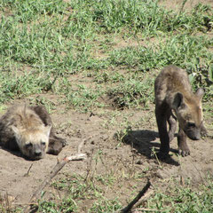 Hyänen-Nachwuchs am Bau in der Serengeti im Januar 2014.