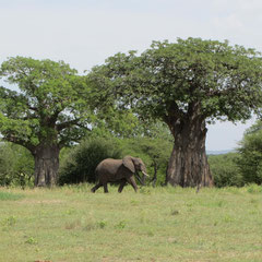 Elefant mit Baobab (Januar).