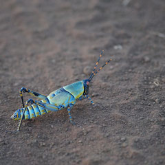 Ein farbenfrohes Insekt beäugt den Fotografen durchaus misstrauisch.