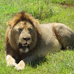 Löwenmännchen im Ngorongoro-Krater im Januar.