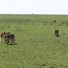 Wanderndes Löwenrudel in der Serengeti im Januar 2014.