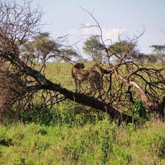 Gepard in der Serengeti im Januar 2014.