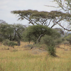 Gepard im Hintergrund auf dem Hügel im Tarangire-Park im Juli 2013.