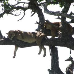 """""""Baumlöwen"""" in der Serengeti vor der Flucht vor den lästigen Fliegen im Januar 2014."""