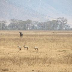 Schakale im Ngorongoro-Krater im Juli 2013.