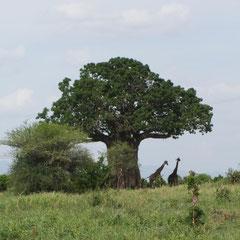 Laubtragender Baobab im Januar.