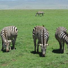 Zebras im Januar.