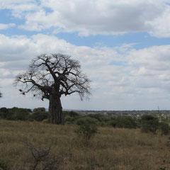 Laubloser Baobab-Baum in der Trockenzeit im Juli.