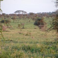 Sich versteckende Schakale am Zeltcamp in der Serengeti im Januar 2014.