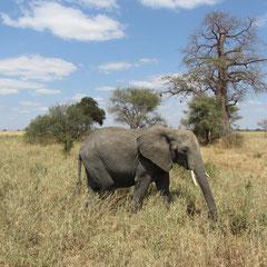 Elefant mit Baobab (Juli).