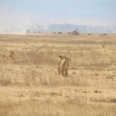 Wanderndes Löwenrudel im Ngorongoro-Krater im Juli.