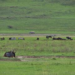 Rhino (mittig im Hintergrund) im Ngorongoro-Krater in Januar 2014.