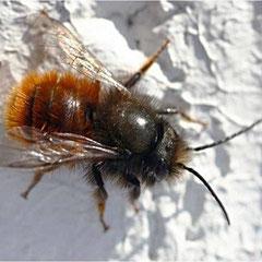 Zweifarbige Schneckenhaus-Mauerbiene