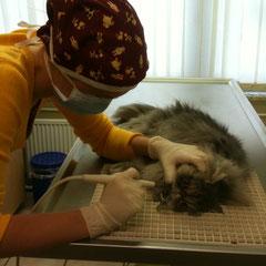 Zahnsteinentfernung per Ultraschall bei einer Katze