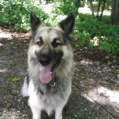 Thürner Wolfshund Vovik aus Eichenau