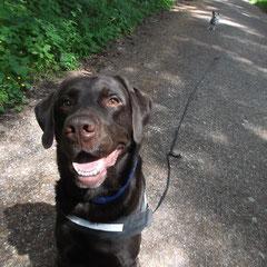 Labrador Jack aus Gröbenzell