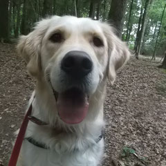 Golden Retriever Laila aus Germering