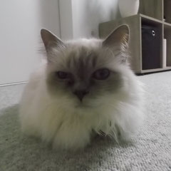 Birma-Katze Mia aus Germering