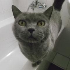 BKH-Katze Shila aus Puchheim