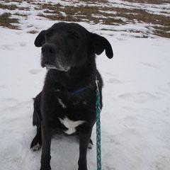 Labrador-/Schäferhund-Mix Sammy aus Puchheim