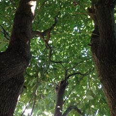 楠の木 剪定前