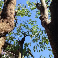 楠の木 剪定後