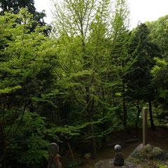 上から見た銀杏の木