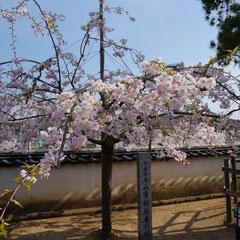 八重桜もきれいです。