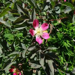 Rotblättrige Rose in der Hecke an der Ausgleichsfläche Herrenreute (Weinreich 2014)