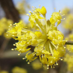 Kornelkirschen-Blüte in der Hecke der Ausgleichsfläche Höhe (Peter Weinreich 2014)
